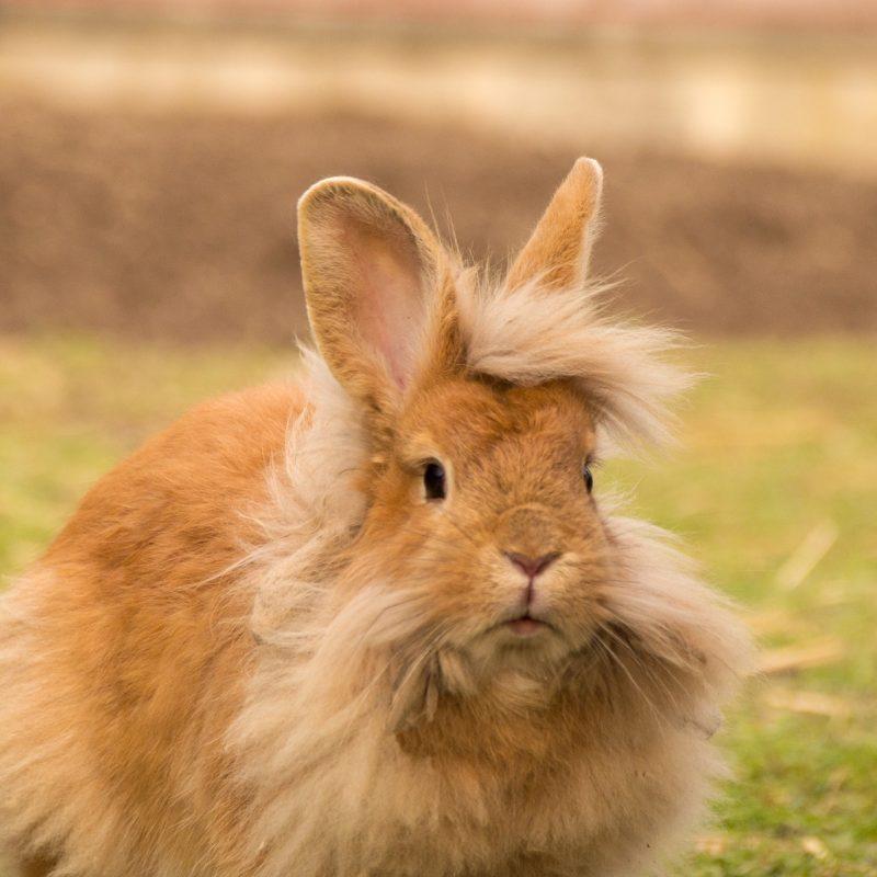 mascota pequeña conejo enano marrón