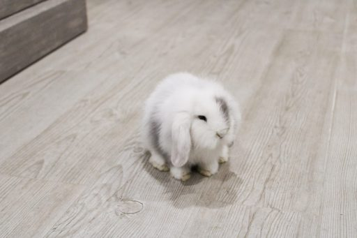 Conejo enano blanco con mancha gris de raza belier. Su nombre es Grey