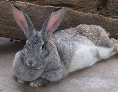 Tipos de conejos, Conejo gigante de Flandes