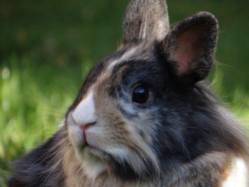 imagen de conejo enano cabeza de león