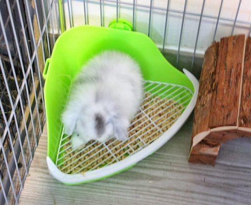 Nuestro Conejo de raza belier haciendo sus necesidades en un esquinero