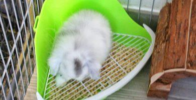 enseñar a un conejo enano a usar un esquinero
