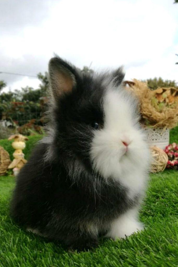 Tambor tipo de conejo enano cabeza de león