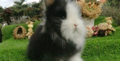 Tambor, mi conejo enano cabeza de león