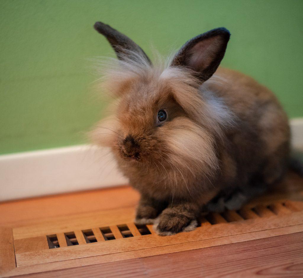 conejo enano de raza con melena