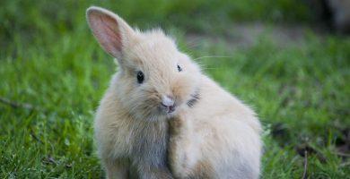 como detectar pulgas y piojos en los conejos enanos
