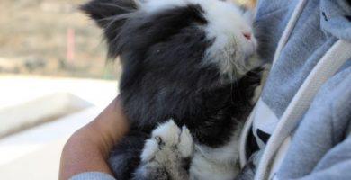 cuidados despues de esterilizar o castrar a un conejo enano