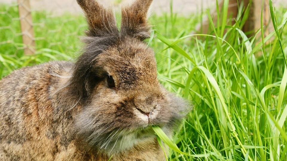 conejo de pelo largo comiendo hierba