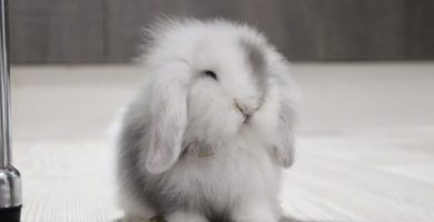 Grey mi conejo enano Belier