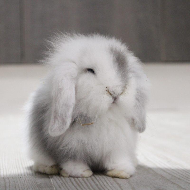 Grey, mi conejo enano de raza Belier blanco y gris