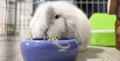 Grey mi conejito Belier, comiendo heno