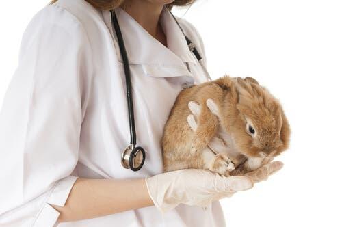 Vacunas necesarias en los conejos. Veterinaria vacunando a conejo enano