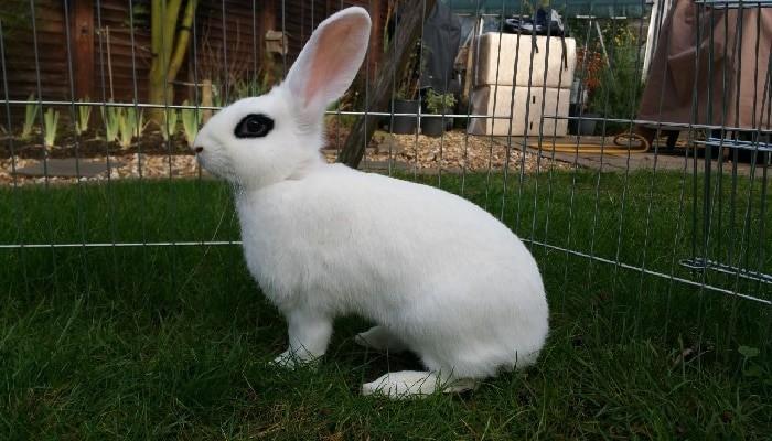 conejo blanco de hotot