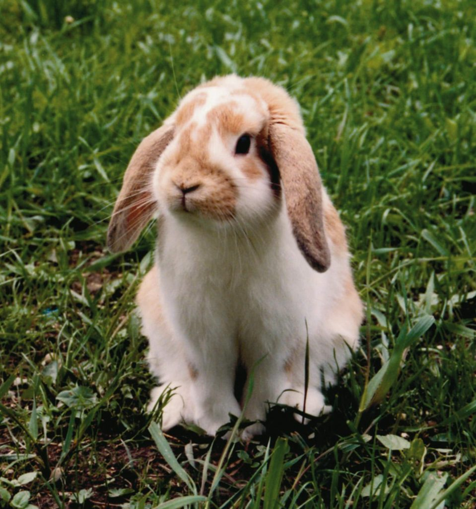 imagen de conejo enano de raza belier