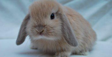 raza de conejo enano belier