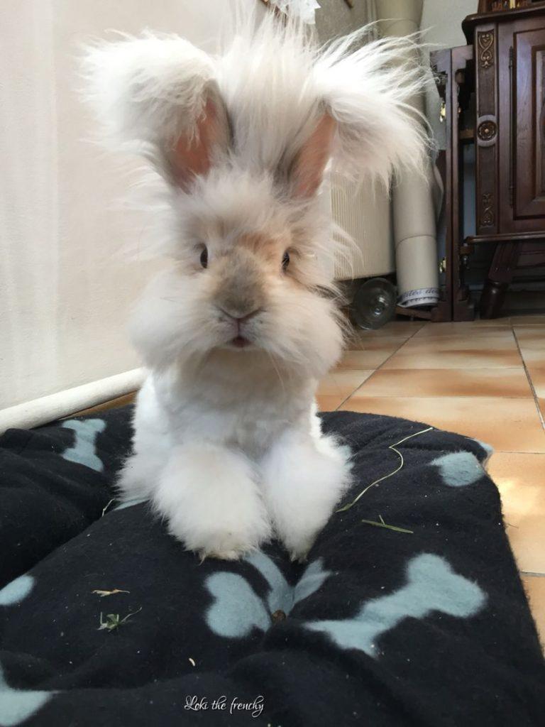 bonito conejo angora