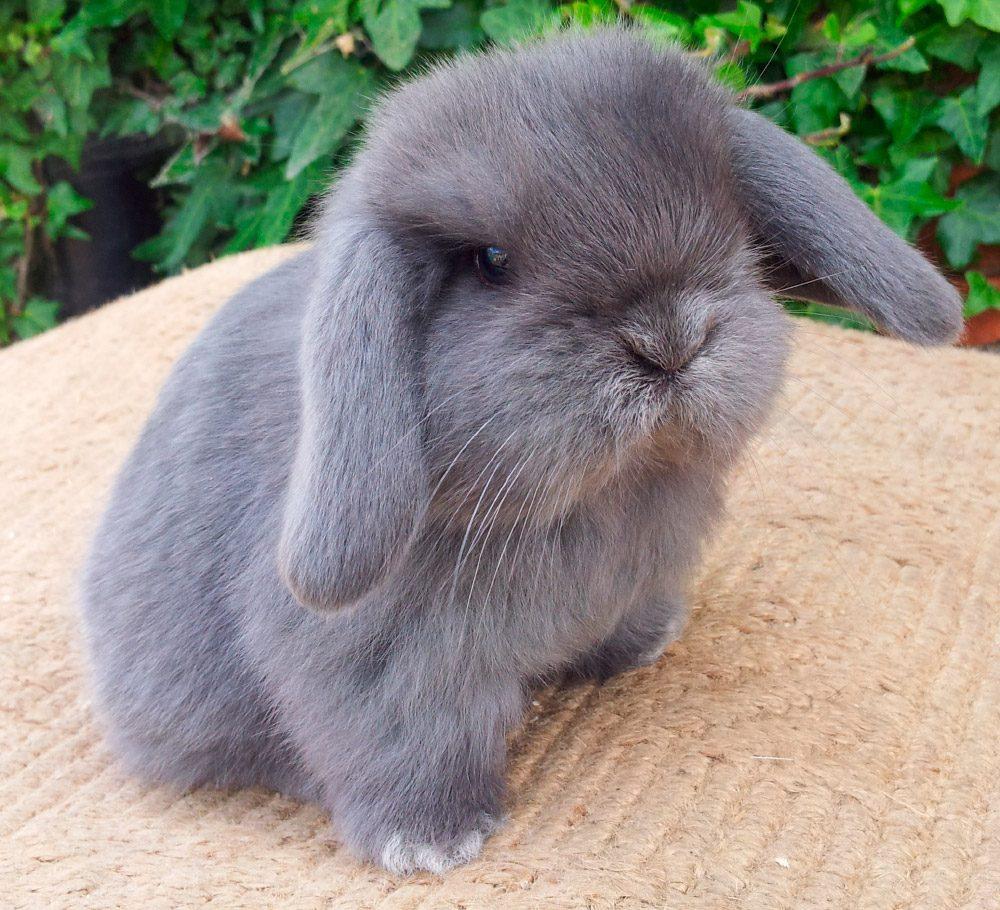 conejo enano de orejas caídas negro