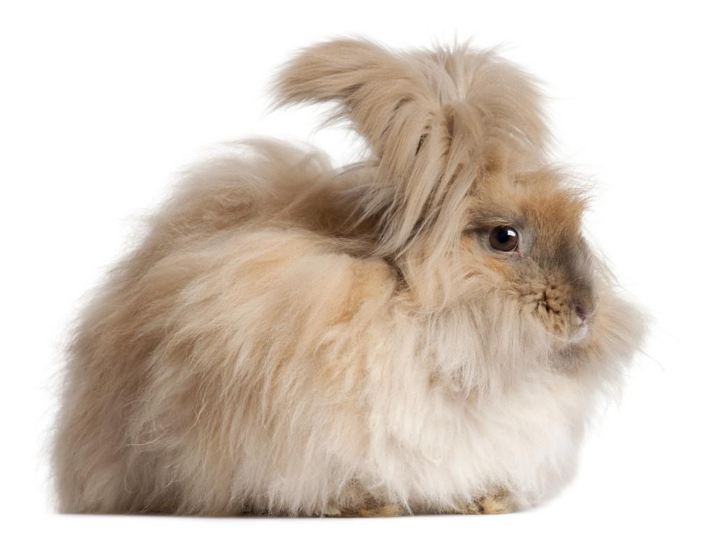 raza de conejo angora marrón