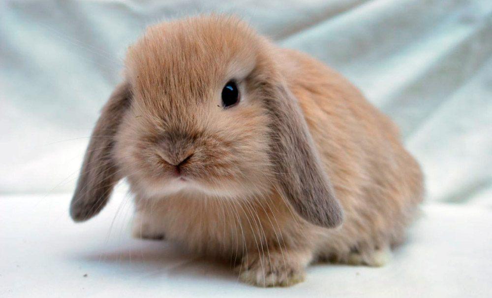 conejo enano mini lop