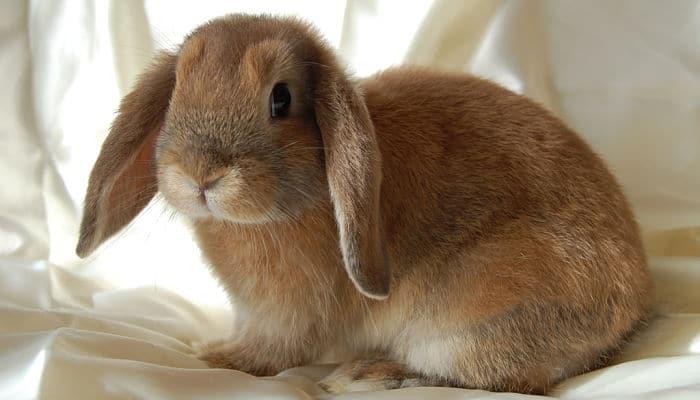 conejo enano de raza mini lop