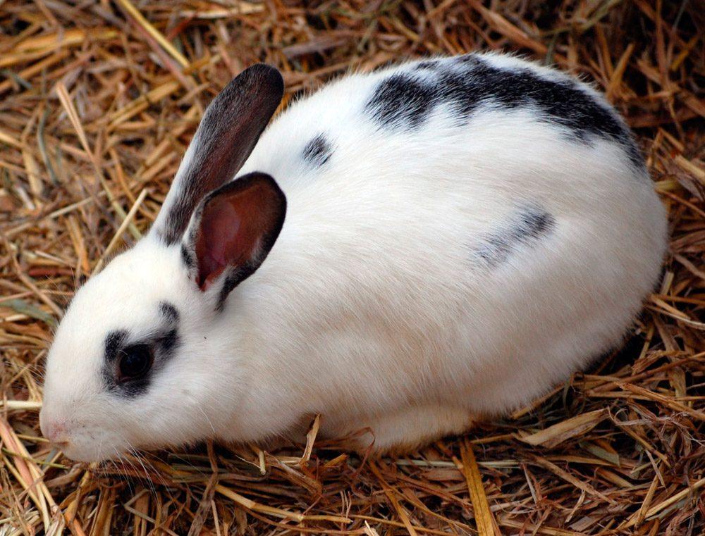 conejo english spot manchas negras