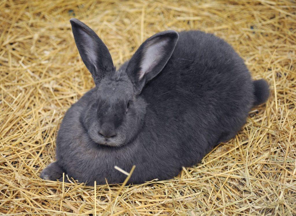 conejo gigante de color negro