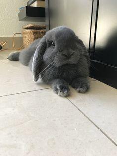 conejo mini lop negro