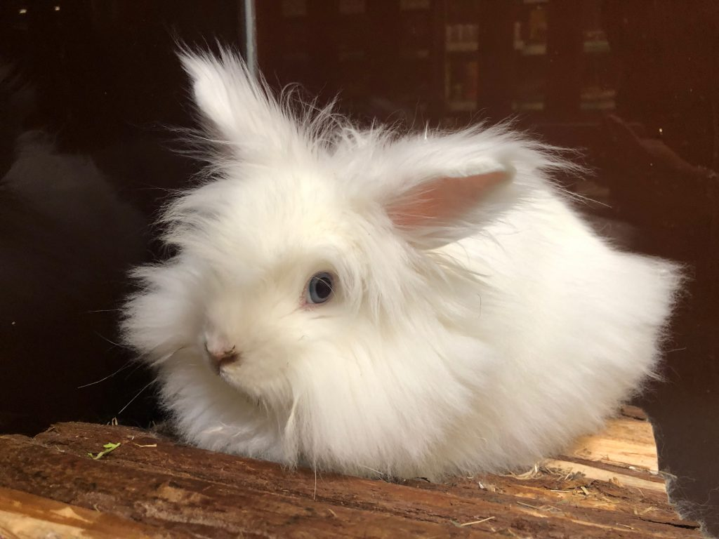 conejo enano peludo blanco