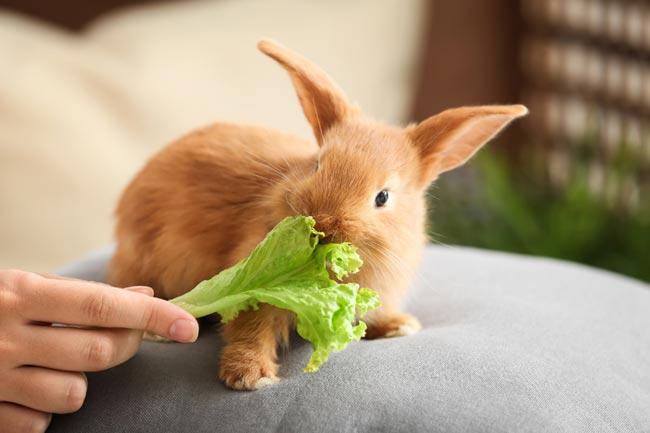 cría de conejo enano de raza rex