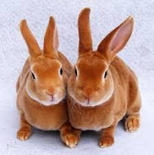 dos conejos enanos marrones