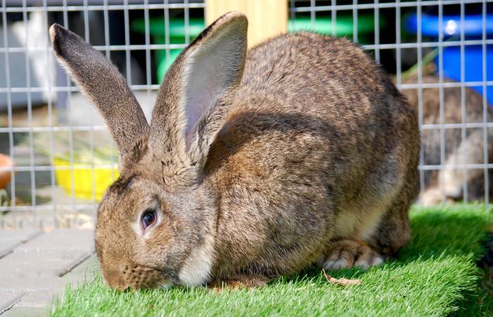 Conejo de tamaño muy grande