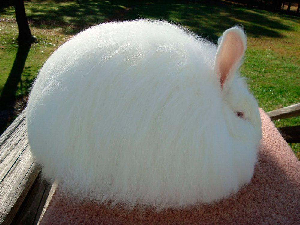 raza de conejo angora