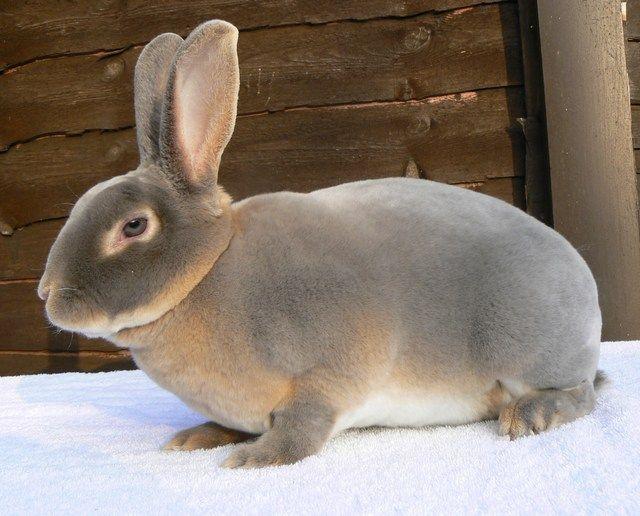 raza de conejo rex gris