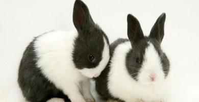 conejitos adorables conejo de raza holandés