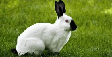 razas de conejo californiano blanco y negro