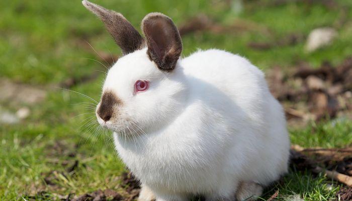 conejo californiano en cesped