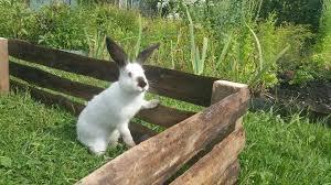 tipo de conejo californiano