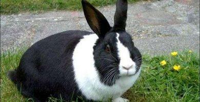 conejo holandés razas de conejos