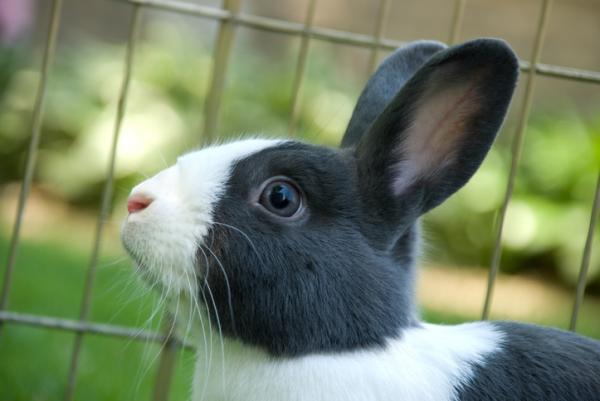 conejo holandés tipos de conejos enanos