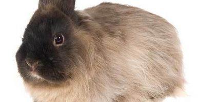 Conejo de raza Jersey Wooly: Origen, Características y más