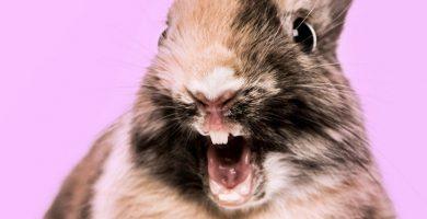 como cuidar los dientes de mi conejo enano