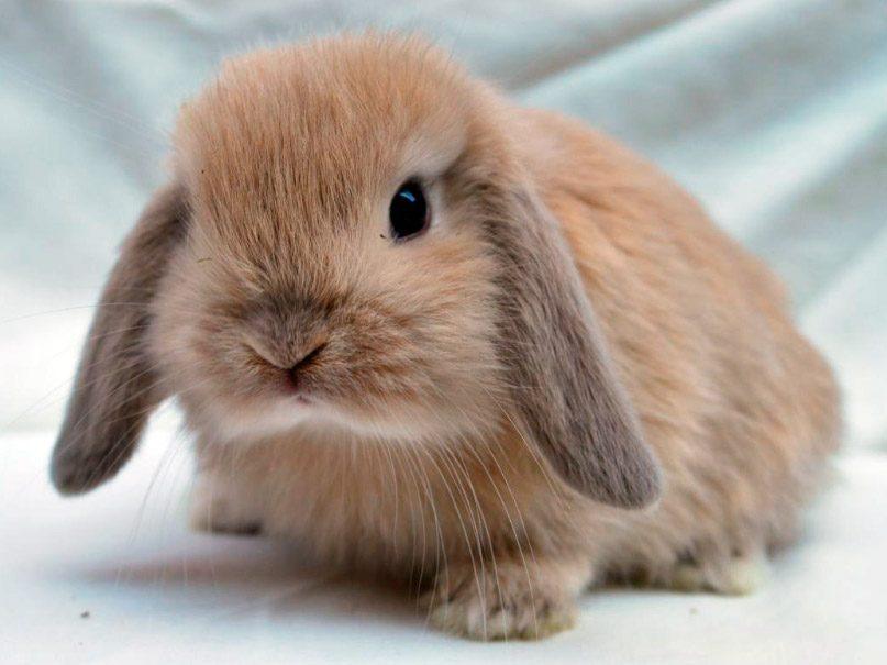 conejo enano de raza mini lop marrón
