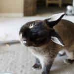 enfermedad Encephalitozoon Cuniculi en conejos enanos