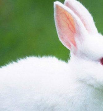 cuidados y características del conejo blanco de Florida