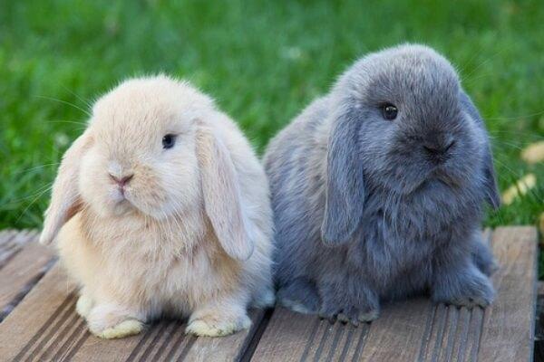 diferentes razas de conejos de orejas caidas