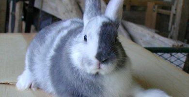 cuidados y características de la raza de conejo arlequín