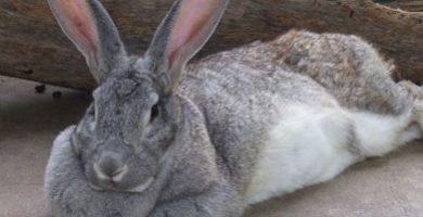 Conejo Gigante de flandes - Razas de conejos