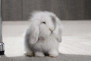 Grey, mi bebé conejo enano Belier blanco y gris