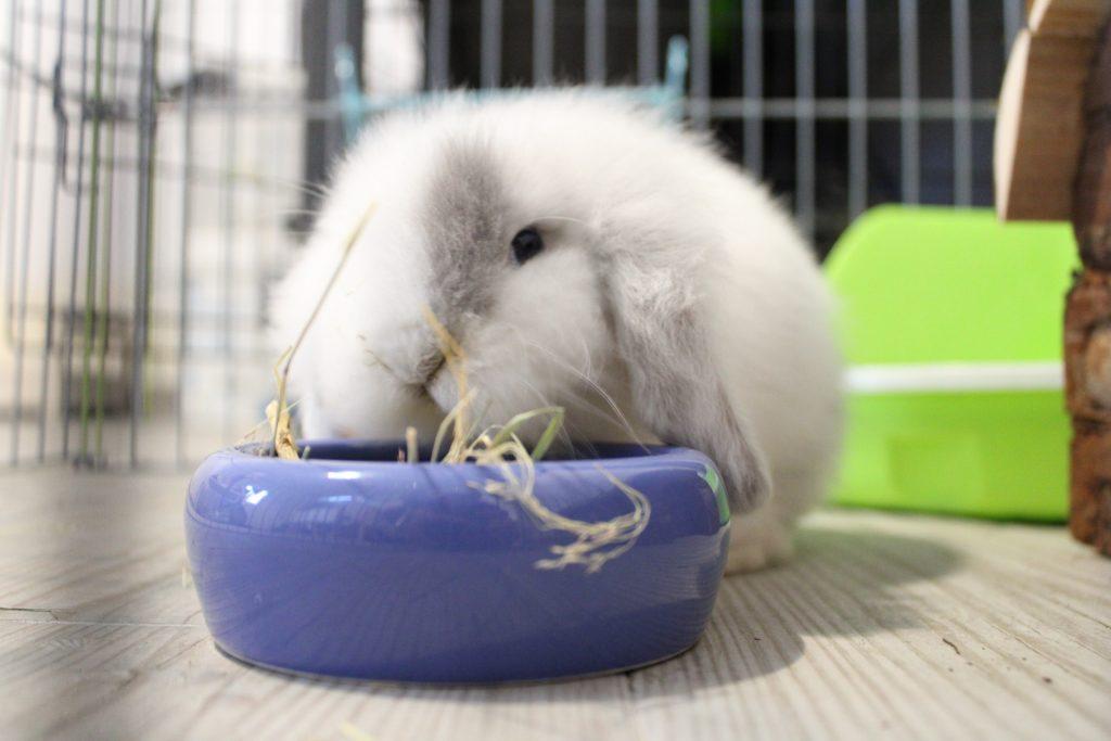 Grey, comiendo heno el alimento principal de los conejos