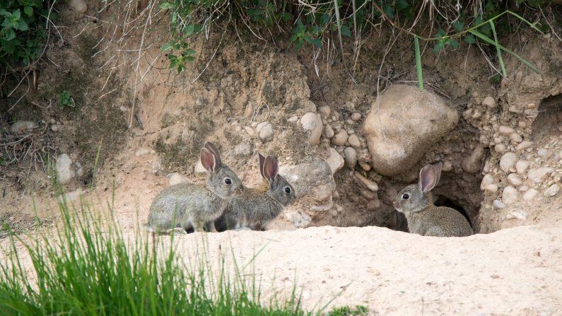Madriguera de conejos enanos